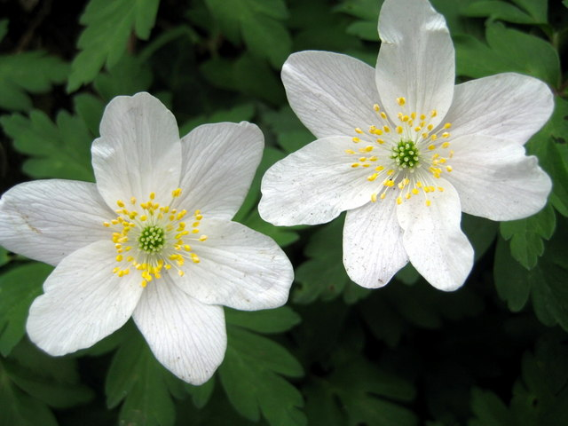 "Wood_Anemone ""Easter Flowers""_-_Hooke_-_geograph_org_uk_-_1247605 CC"